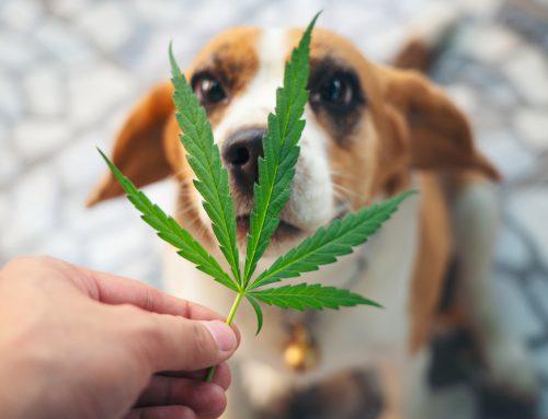 Marijuana Toxicity in Pets